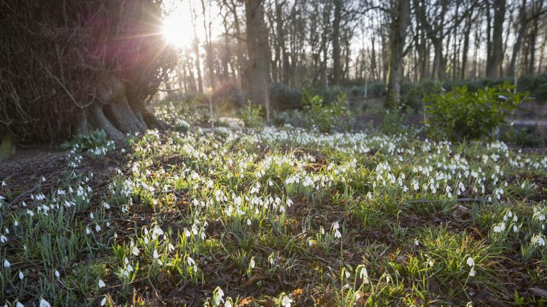 Show-stopping snowdrops at Kingston Lacy